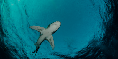 Shark dark